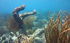 Corals could be cured using probiotic like Yakult