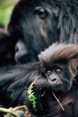 Countries renew plan to protect mountain gorillas