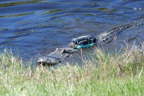 Crittercam captures crocodilian foraging behaviors (videos)