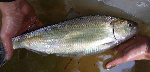 Dam removal improves shad spawning grounds, may boost survival rate