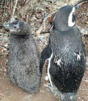 Deaths attributed directly to climate change cast pall over penguins