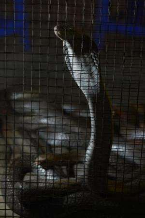 Demand from China means rare animals are being smuggled in from across South East Asia, shown here is a cobra on sale in Jakarta