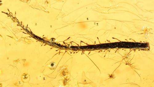 Leaves of ancient carnivorous plants found in Baltic amber