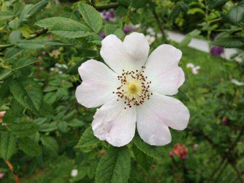 Differences in phenolic makeup of indigenous rose species and modern cultivars