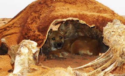 Dingo control no harm to wildlife