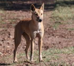 Dingoes vital for ecosystem health