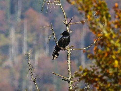 'Divide and rule' -- raven politics