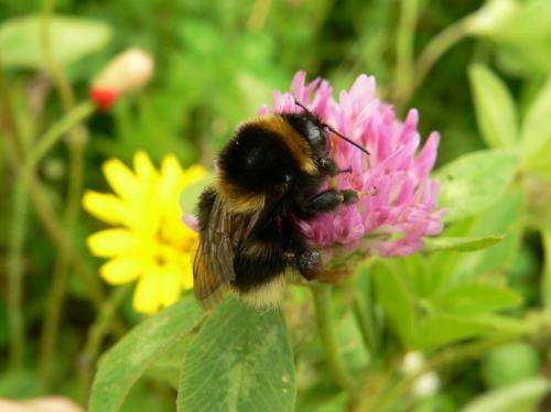 DNA analysis reveals queen bumblebees disperse far from birthplace before setting up home