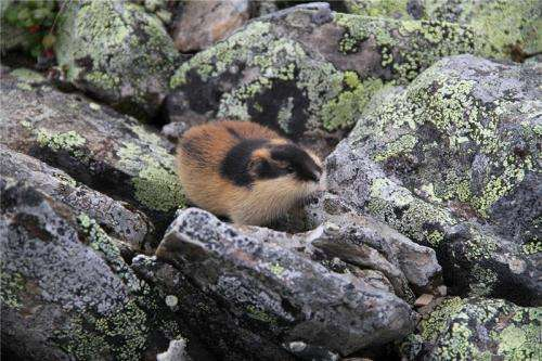 DNA from fossils reveal the origin of the Norwegian lemming