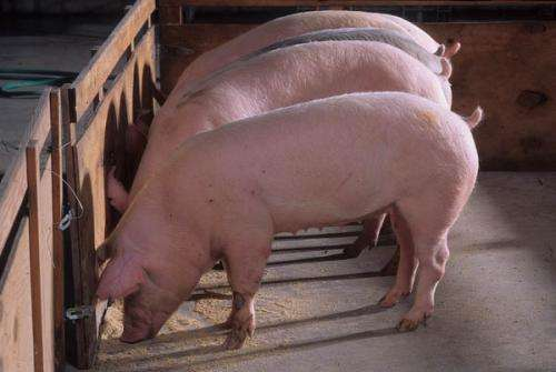 Do people and pigs share salmonella strains?