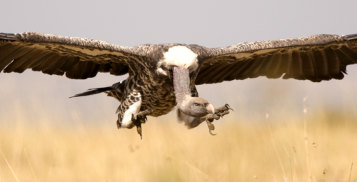 Eagle-eyed birds of prey help scrounging vultures find their dinner