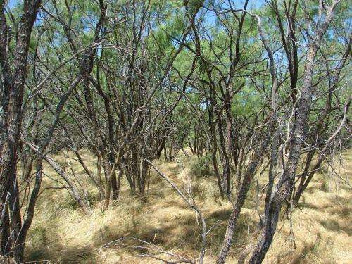 Economics of using mesquite for electricity dependent on outside factors