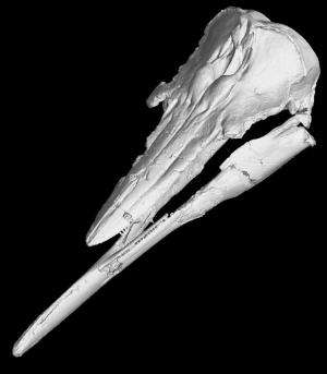 Extinct California porpoise had a unique underbite