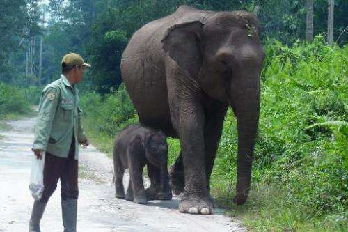 Female elephant Ria walks next to her newborn in Tesso Nelo National Park, Riau province on the island of Sumatra, on August 8,