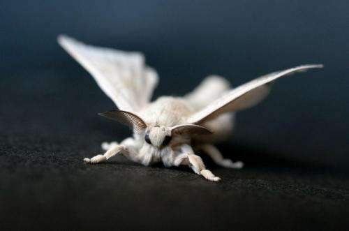Researchers uncover the process by which gender is determined in the silkworm