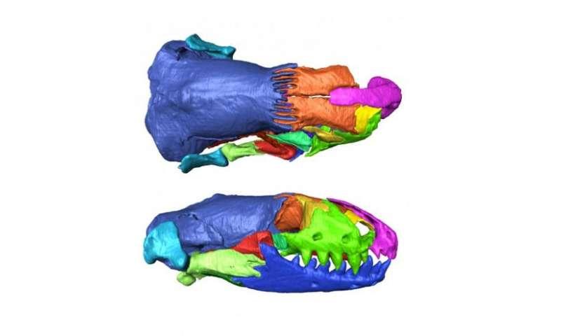 First intact skull of Mediterranean worm lizard found