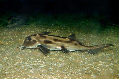 First shark genome decoded