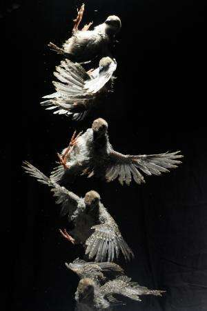 Flapping baby birds give clues to origin of flight