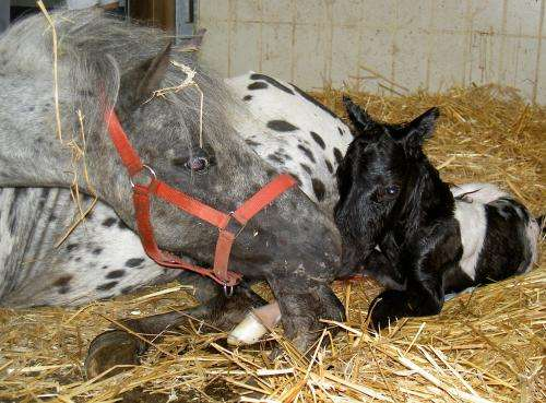 Foaling mares are totally relaxed – no stress