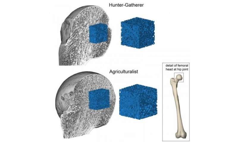 Forager past shows our fragile bones result from inactivity since invention of farming