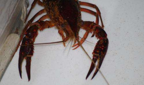 Study shows crayfish exhibit anxiety-like behavior when stressed