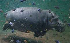 Fossilised swimming hippos could help us understand dinosaur footprints