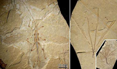 Fossils of earliest stick insect to mimic plants discovered