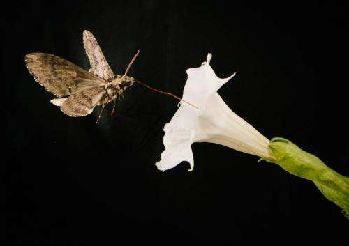Foul fumes derail dinner for hungry moths