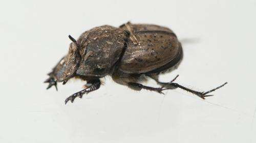 French beetles tackle Great Southern cattle dung