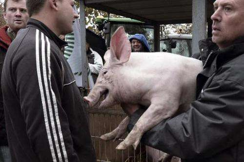 French farmer holds a pig during a protest  on November 5, 2014 in Strasbourg, eastern France