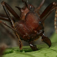 Fungus-growing ants selectively cultivate their crops