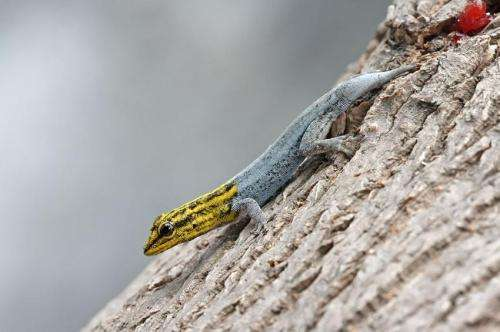 Geckos on Australasia side of Wallace Line found to be growing to twice the size of those in Asia