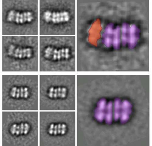 Genesis of the enzyme that divides the DNA double helix during cell replication