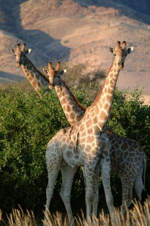 Genes offer new insights into the distribution of giraffes