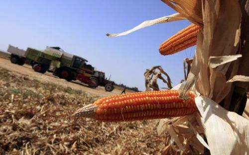 Genetically modified corn cobs are seen on September 21, 2008
