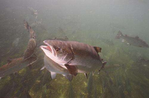 Genetic chip will help salmon farmers breed better fish