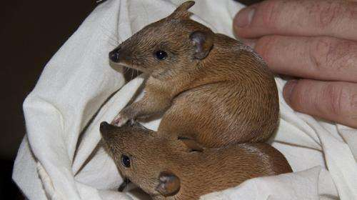 Genetic diversity approved for translocated bandicoots