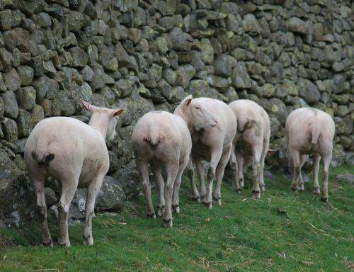 Genetic link holds key for sheep affliction