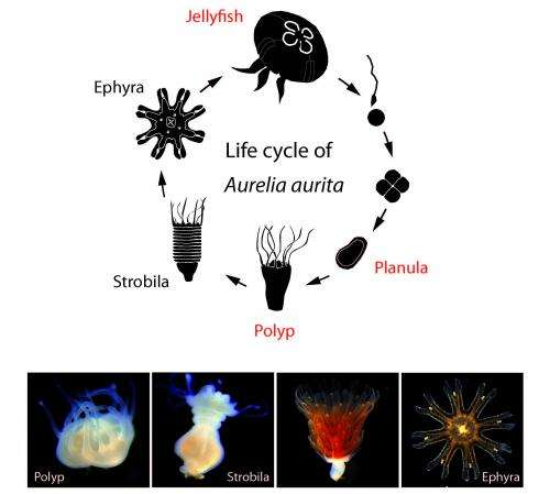 The life cycle of a jellyfish (and a way to control it)