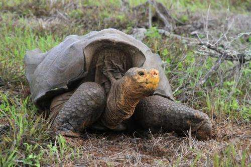 Giant tortoises gain a foothold on a Galapagos Island