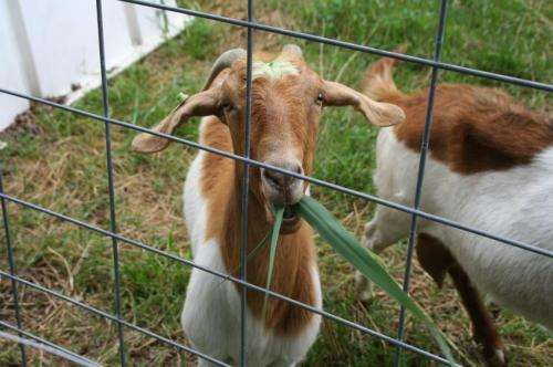 Goats better than chemicals for curbing invasive marsh grass