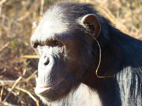 'Grass-in-the-ear' technique sets new trend in chimp etiquette
