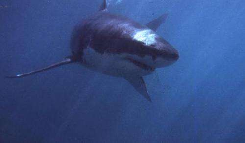 Great whites sharks are a protected species in Australia and it is illegal to catch, keep, buy, sell, possess or harm them