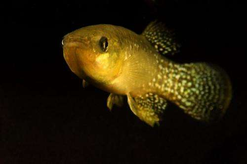 Gulf killifishes' biological responses to oil spills similar in field, laboratory studies