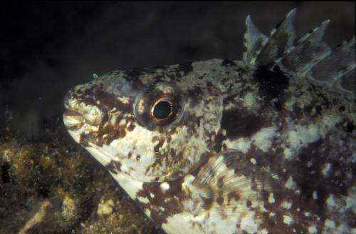 Tropical fish a threat to Mediterranean Sea ecosystems
