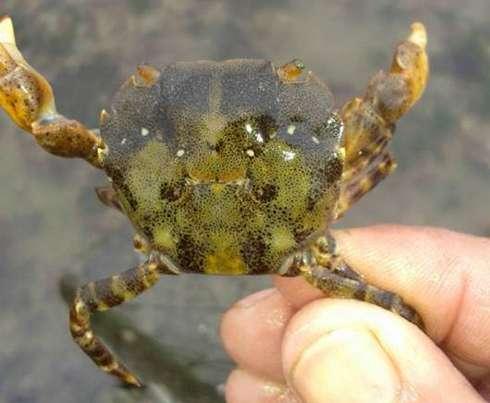 Help stem the Asian shore crab invasion