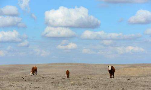 Hereford cattle roam the dirt-brown fields of Nathan Carver's ranch, which his family has owned for five generations, on the out