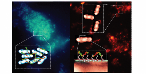 Hijacking bacteria's natural defences to trap and reveal pathogens