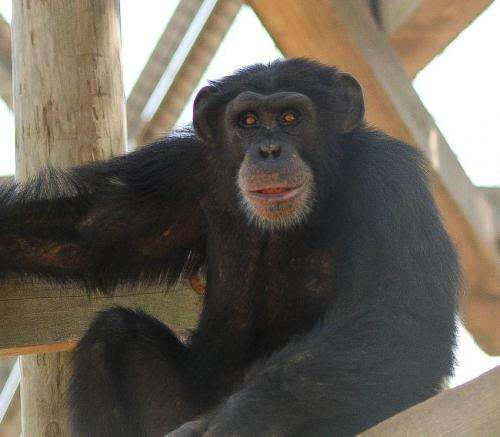 Ebola vaccine success highlights dilemma of testing on captive chimps to save wild apes