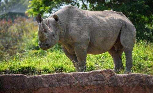 Hormone analysis helps identify horny rhinos